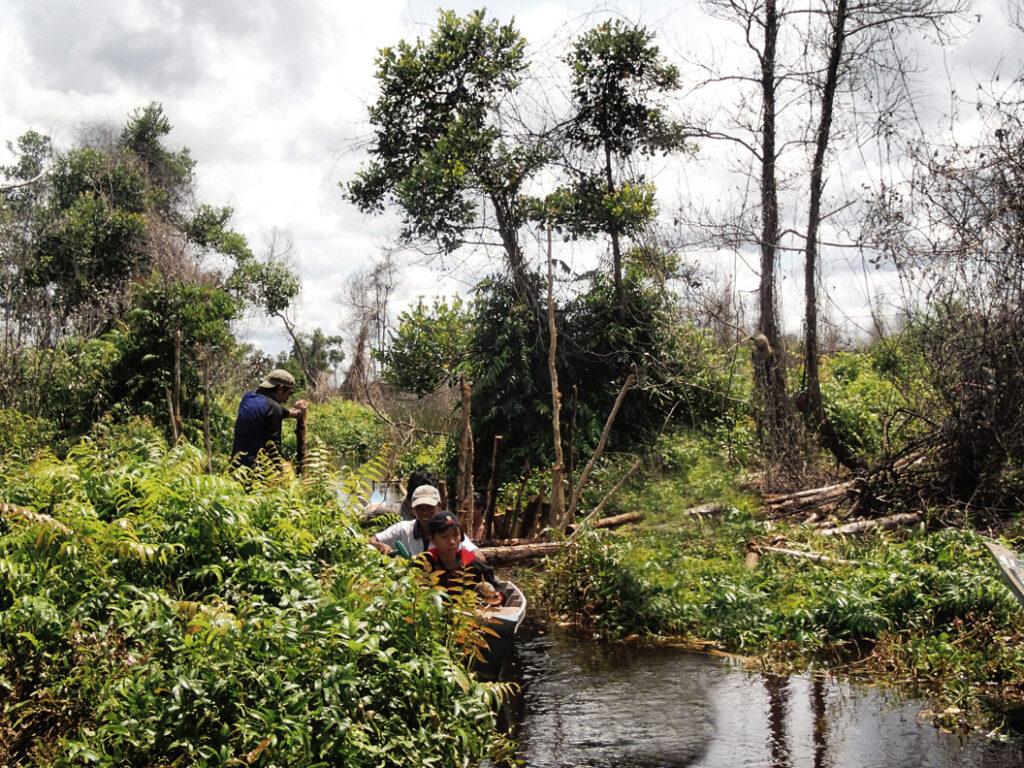 Dajakit ovat kaivaneet perinteisesti matalia kanavia, joiden avulla he ovat kyenneet liikkumaan lähes läpipääsemättömän viidakon läpi. Suopohjaisen viidakon raivaamisen ja kuivaamisen myötä kanavatkin kuivuvat.