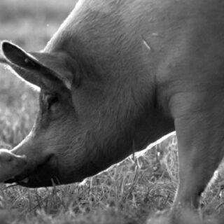 Häiriköiden leffakerho: Eläintuotannon julma kiertokulku