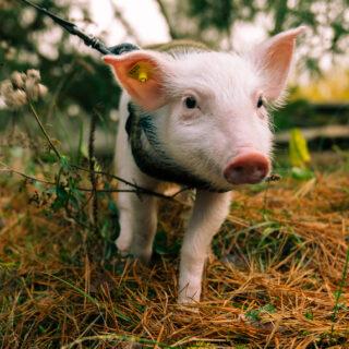 Saako eläinteollisuutta kritisoida ja pitäisikö kriitikon argumentteihin vastata?