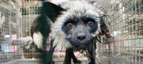 Eläinrääkkäystä Norjan turkistarhoilla