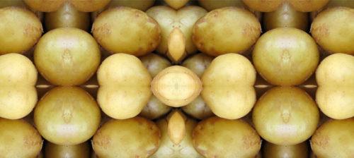 Geenimuunneltu peruna saapuu Suomeen