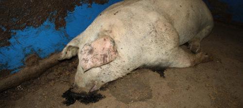 Salakuvaus paljasti eläinsuojelutarkastusten tehottomuuden