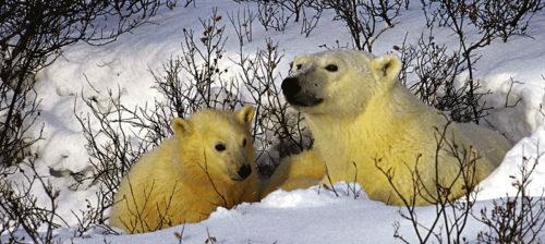 Jääkarhun pakkopaasto pahenee