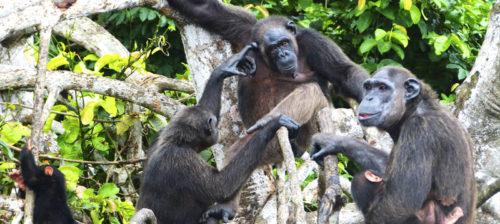 Simpanssien saaret