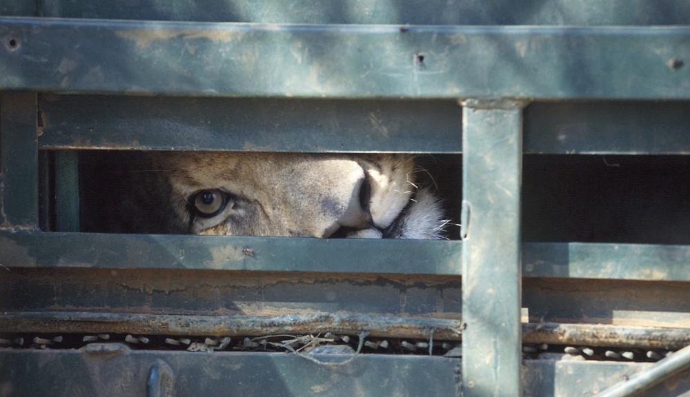 Tulevaisuus maalitauluna. Ian Michlerin Blood Lions kertoo siitä, miten Etelä-Afrikassa kasvatetaan kesyjä leijonia turisteille metsästettäväksi.