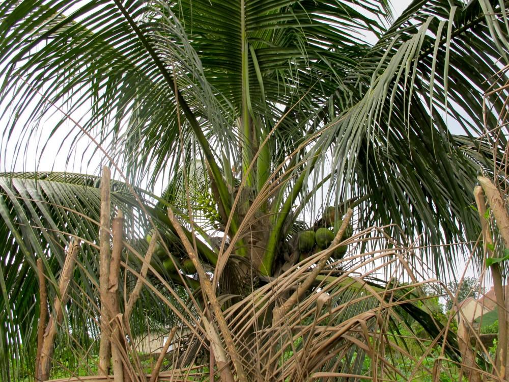Kookospalmu pursuu isoa pähkinää. ©Iida Simes