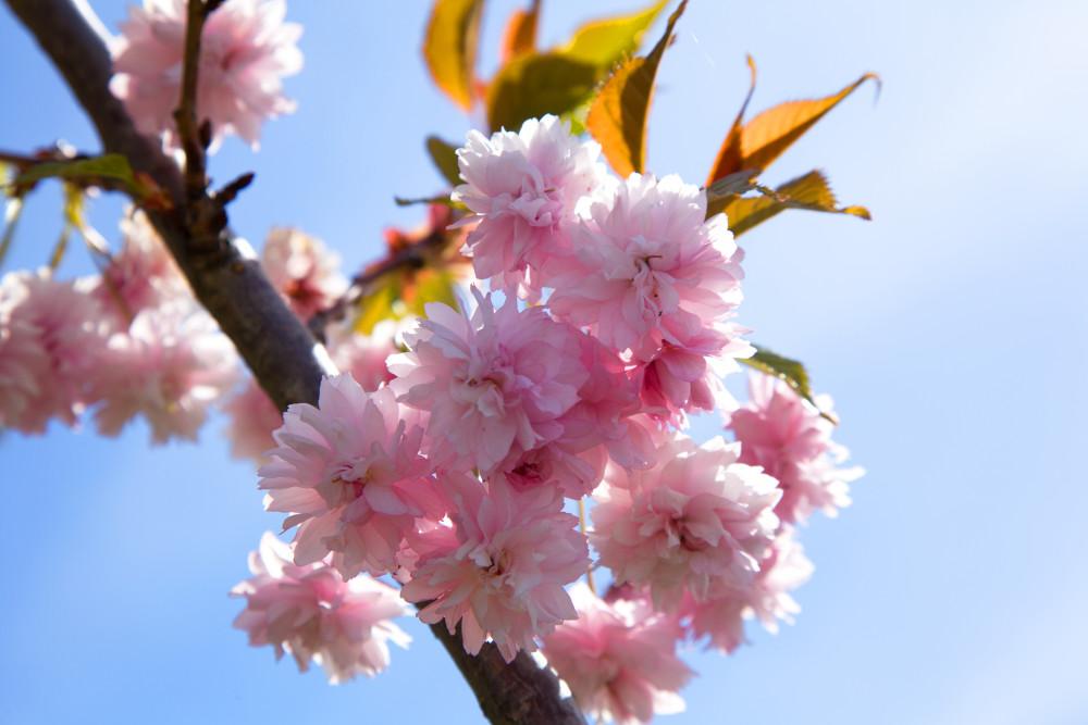 Lämpimän kevään vuoksi suurin osa kukoistuksesta oli jo päättynyt, mutta kävijöiden iloksi puistoon oli jäänyt vielä muutama kukka.