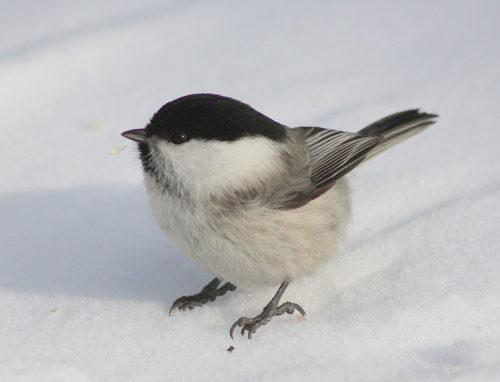 Suomen linnut vaarassa
