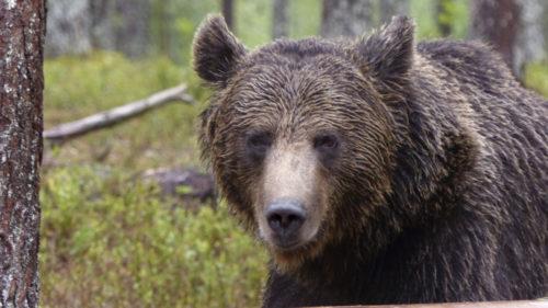 Karhu tulee lähelle! Mesikämmeniä videoilla ja kuvissa. Mukana myös ahma.