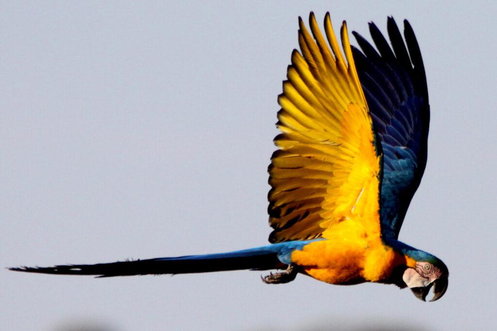 iso papukaija Brasiliassa.