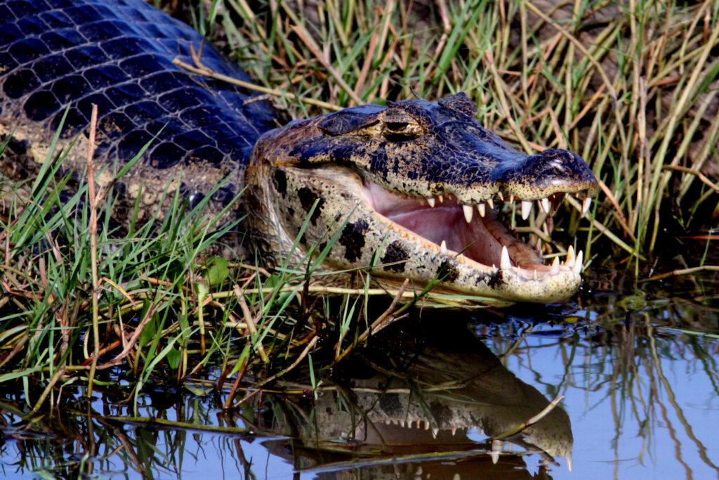 Kaimaani, alligaattori, kroko Brasiliassa