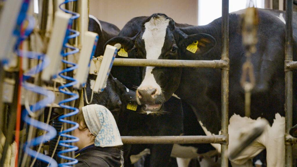 Lehmiä karsinassa, etualalla johtoja ja ihminen kyykyssä.