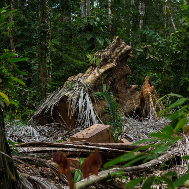Amazonian sademetsäkato kiihtyy — syynä länsimaihin toimittava huumeteollisuus